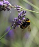 23rd Jul 2020 - Busy bee