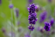 1st Oct 2020 - Lavender's Purple.....