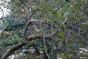 1st Oct 2020 - Crabapple tree with old tangled branches