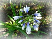 2nd Oct 2020 - Agapanthus