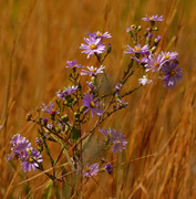 1st Oct 2020 - smooth blue asters