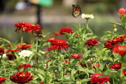 28th Sep 2020 - Monarch and Flowers