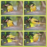 1st Oct 2020 - Bird collage