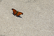 30th Sep 2020 - Eastern Comma Butterfly