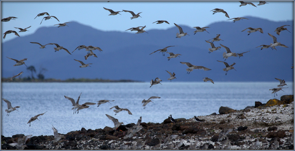 The godwits by dide