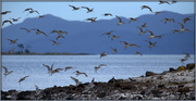 2nd Oct 2020 - The godwits