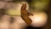 1st Oct 2020 - Floating Leaf!