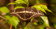 1st Oct 2020 - Giant Swallowtail Butterfly!
