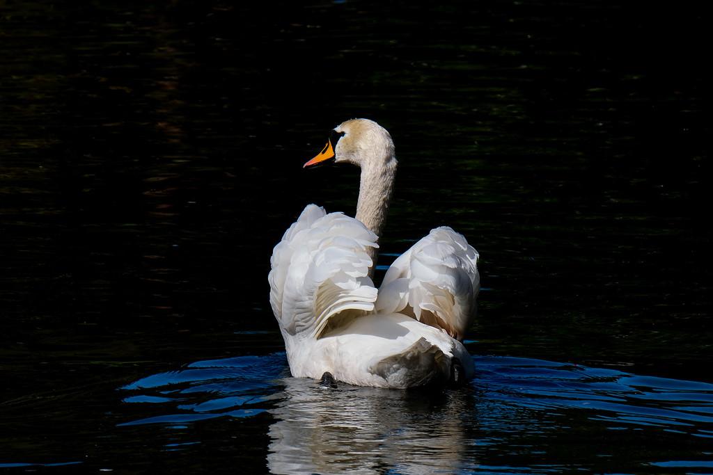 White swan by maureenpp