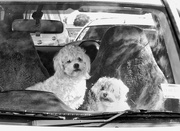 1st Oct 2020 - Dogs in  cars