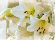 2nd Oct 2020 -  St Josephs Lilies