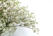 1st Oct 2020 - gypsophila