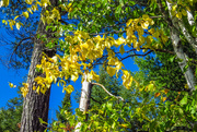 2nd Oct 2020 - Here Comes Fall at Voyageurs