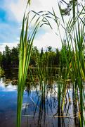 3rd Oct 2020 - Voyageurs NP Reeds