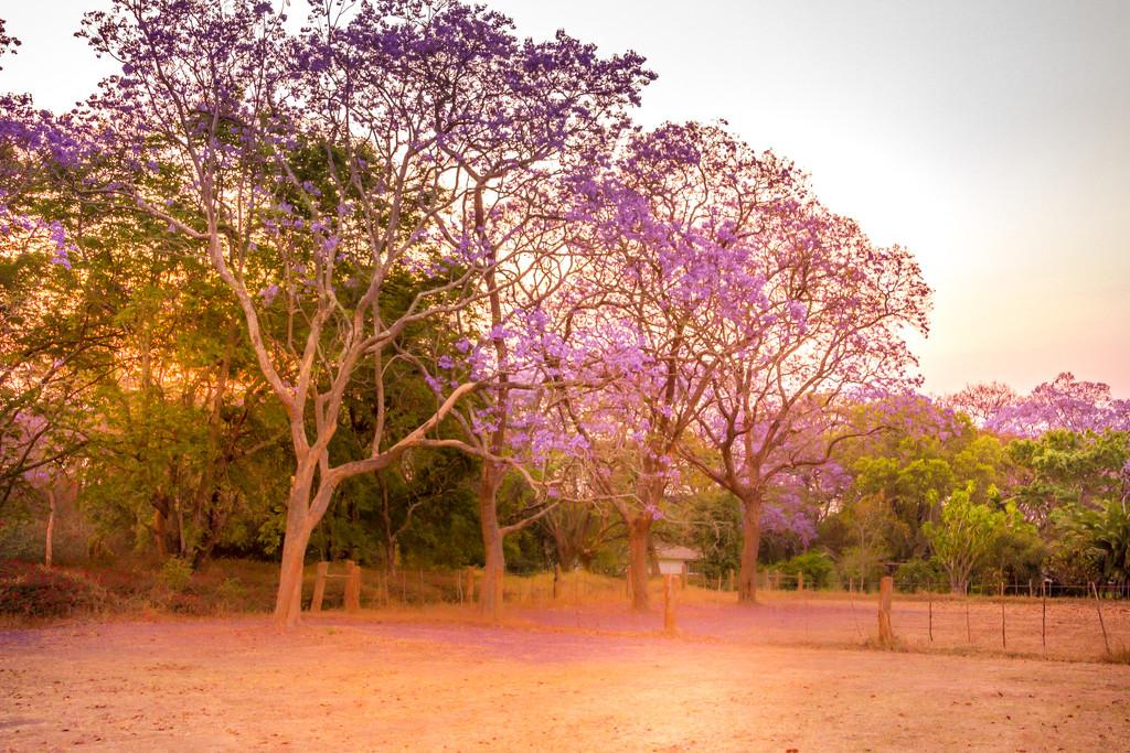 Jacaranda Purple by zambianlass