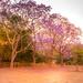Jacaranda Purple