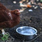 2nd Oct 2020 - My Hen and Scraps