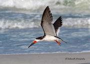 2nd Oct 2020 - Just love birds in-flight