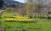 1st Oct 2020 - A field of daffodils