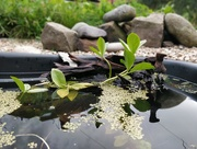 2nd Oct 2020 - Bog bean in the pond