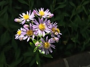 3rd Oct 2020 - October Asters