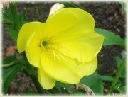 3rd Oct 2020 - Evening primrose/Oenothera