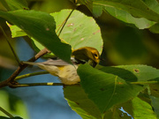 2nd Oct 2020 - Black-throated green warbler