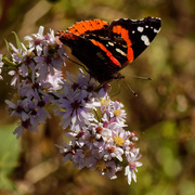 2nd Oct 2020 - red admiral butterfly
