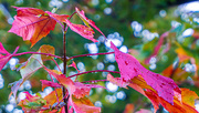 2nd Oct 2020 - maple after rain