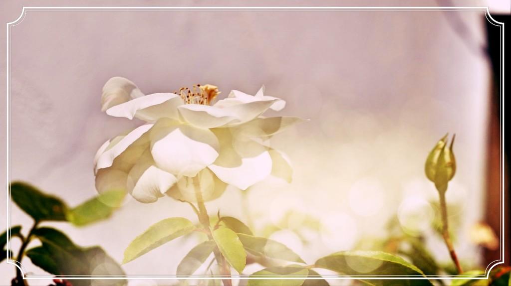 Bokeh White Rose  by kathyboyles