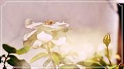 2nd Oct 2020 - Bokeh White Rose