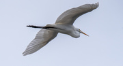 2nd Oct 2020 - Egret Fly-over!