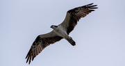2nd Oct 2020 - Osprey Fly-over!