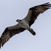 Osprey Fly-over! by rickster549
