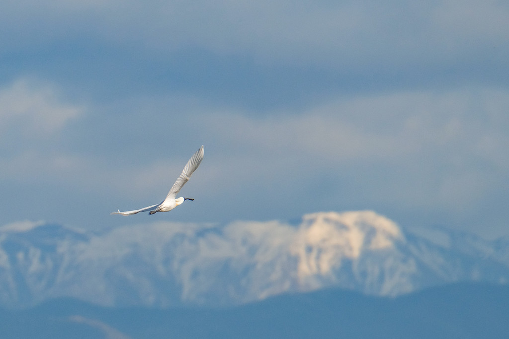Spoonbill over the mountains by maureenpp