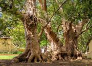 3rd Oct 2020 - Camphor trees up close