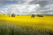 3rd Oct 2020 - Little church in the Canola