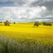 Little church in the Canola by pusspup