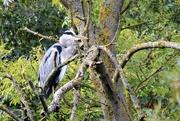 2nd Oct 2020 -   Perching Heron