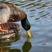 Duck by parisouailleurs