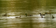 3rd Oct 2020 - wood ducks, mallards, and a coot