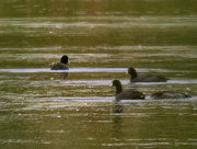 3rd Oct 2020 - American coots