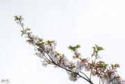 3rd Oct 2020 - White Blossom