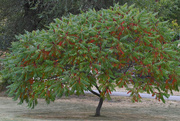 25th Sep 2020 - Sumac Tree