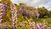 4th Oct 2020 - Wisteria hedges