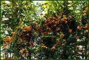 3rd Oct 2020 - Orange Berries