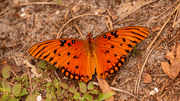 3rd Oct 2020 - Gulf Fritillary Butterfly on the Ground!