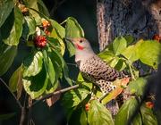 3rd Oct 2020 - Northern Flicker enjoying a few berries