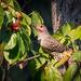 Northern Flicker enjoying a few berries by nicoleweg
