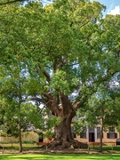 4th Oct 2020 - Another Camphor tree